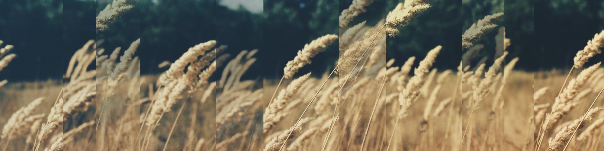 Understanding Genetically Engineered Crops