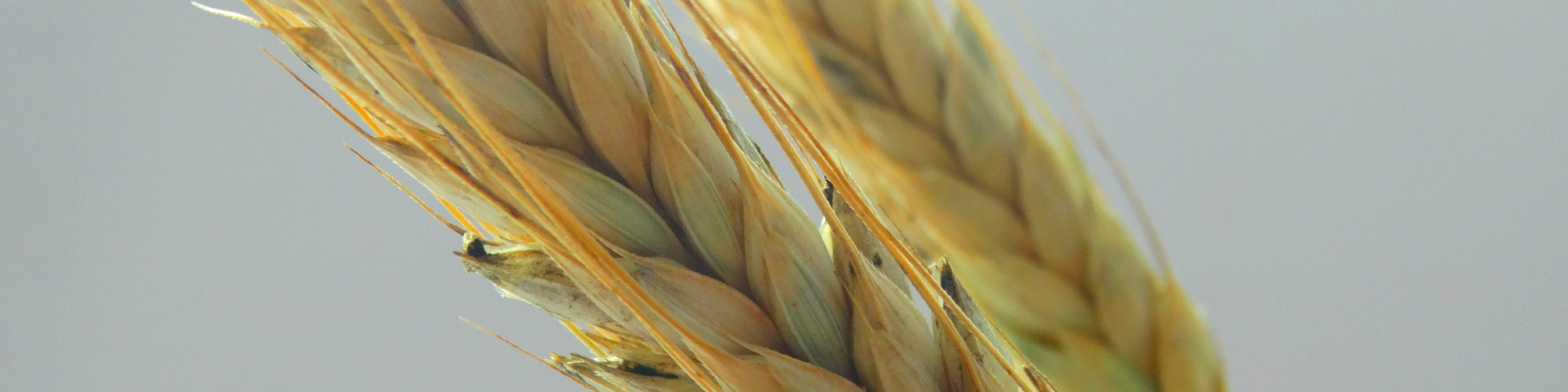 Eating whole grains led to modest improvements in gut microbiota and immune response